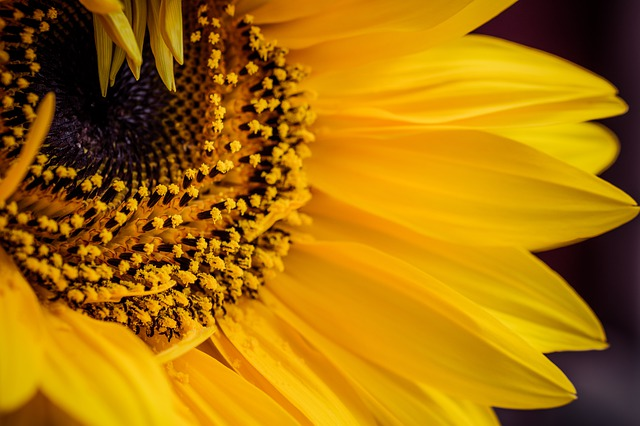 Where to find sunflower fields in Tuscany?
